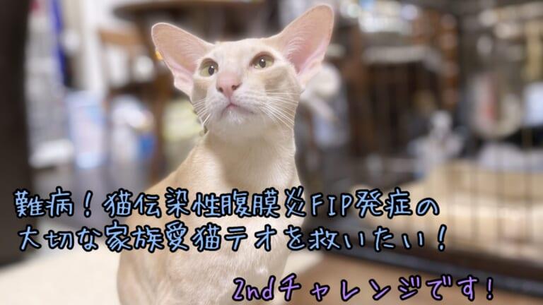 難病!猫伝染性腹膜炎(FIP)を発症した大切な家族、愛猫テオを救いたい!2ndチャレンジです。