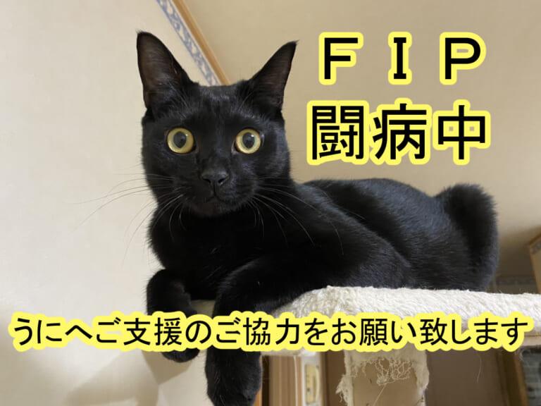 致死率ほぼ100%「猫伝染性腹膜炎」を発症したうにくんへのご支援をお願い致します