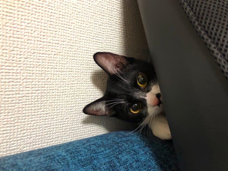 致死率100%の難病FIPと闘う子猫「はるさめ」を助けてください。