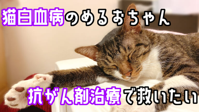 【縦隔型リンパ腫】保護猫めるおちゃんの抗がん剤治療にご支援ご協力をお願いします