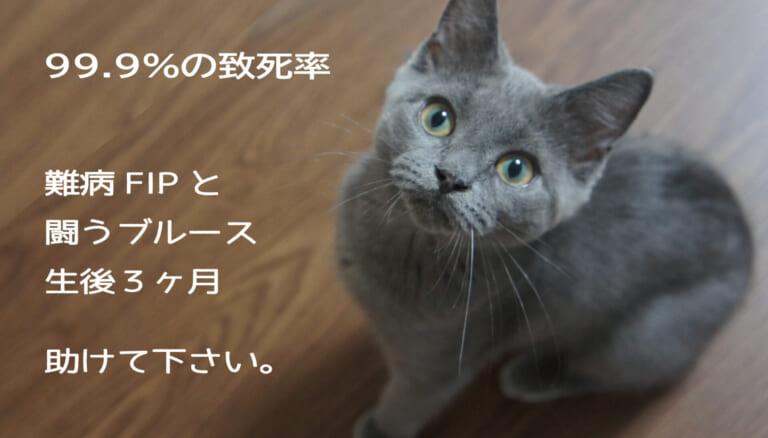 【難病FIP、助けて】生後3ヶ月の猫ブルースの治療費のご支援、ご協力お願いします