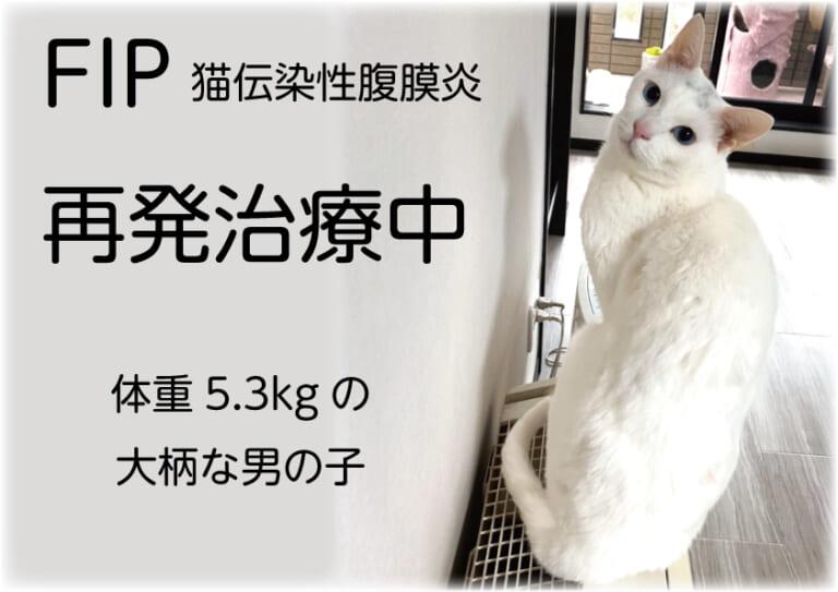 【FIP再発】体重5.3kgと大柄な「うーちゃん」の再治療にご支援ご協力をお願いします!