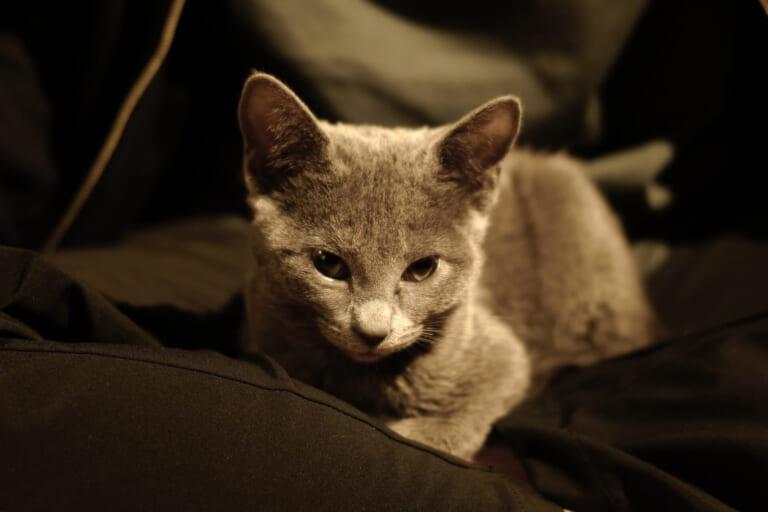 愛猫QのFIP(猫伝染性腹膜炎・致死率99%)治療にご支援ください。