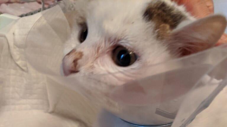 交通事故に遭った保護猫すずちゃんを助けたい!