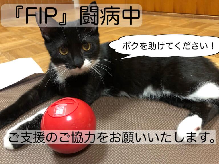 【FIP】致死率99.9%の難病FIPと診断された保護猫バッツくんへのご支援ご協力のお願い