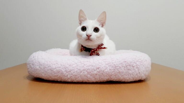 致死率99.9%の難病、猫伝染性腹膜炎(FIP)と闘うみるくにご支援のお願いです