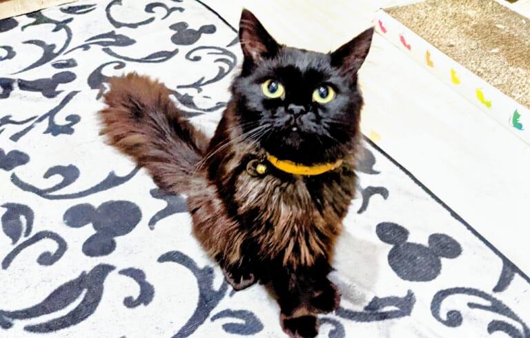 病弱なノワールちゃんを 難病で致死率99.9%【猫伝染性腹膜炎⠀FIP】から救いたい!!