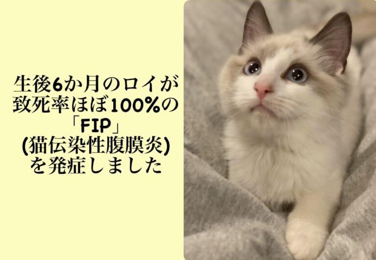 [FIP]致死率ほぼ100%の猫伝染性腹膜炎と診断を受けた生後6カ月のロイの明日を繋ぐ為皆様のお力をお貸し下さい