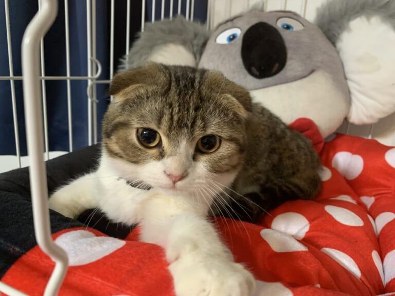 致死率99%の♢猫伝染性腹膜炎(FIP)♢からコロンを助けたい!ご支援ください。