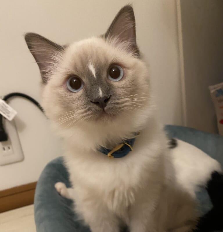 猫伝染性腹膜炎(FIP)致死率ほぼ100%。レオの命を守る為、みなさんの力を貸して下さい。
