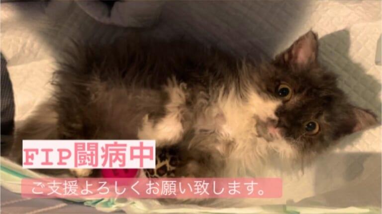 【助けてください】致死率100%の猫伝染性腹膜炎(FIP)治療費ご協力のお願い