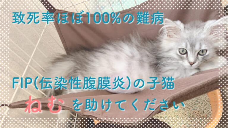 致死率ほぼ100%…FIP(伝染性腹膜炎)を患った、子猫の「ねむ」を助けてください!