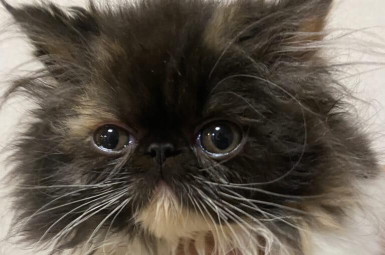 致死率100%FIP(猫伝染性腹膜炎)生後7ヶ月小さな命を助けてください!!