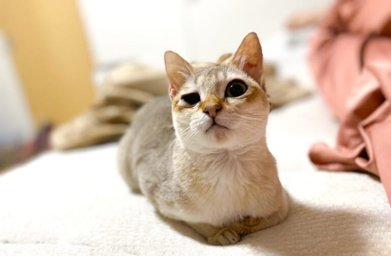 致死率ほぼ100%の病気、猫伝染性腹膜炎(FIP)に感染したれんを助けたいです