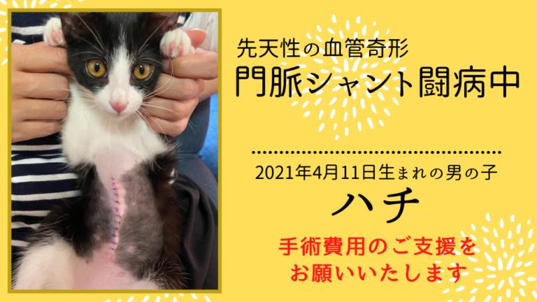 【手術費支援のお願い】先天性の血管奇形『門脈体循環シャント』の愛猫ハチを助けたい!!
