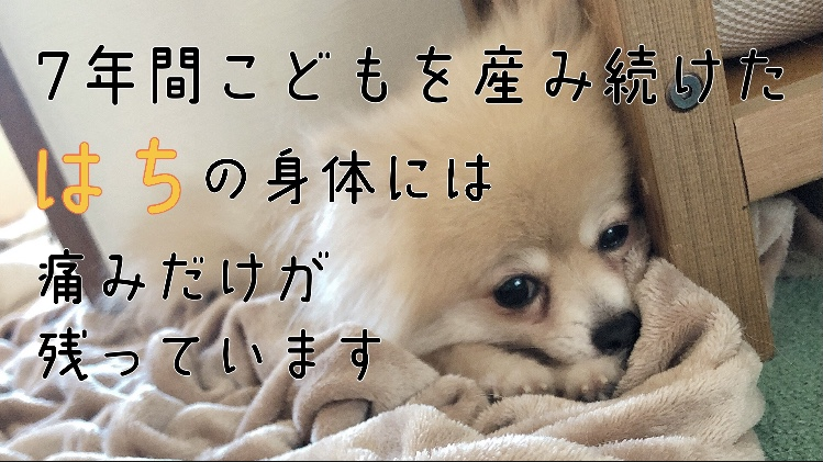 【繁殖引退犬】ブリーダーさんの元で約7年間頑張ってきたはちを助けて下さい! 両脚関節脱臼(発症時期不明)、パテラ(グレードⅢ)、歯周病を患っています。