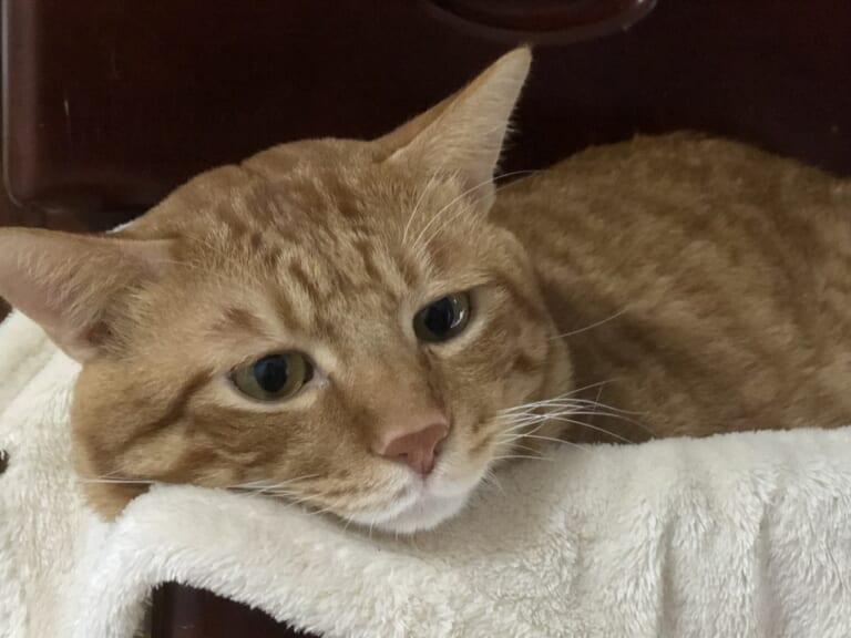 猫伝染性腹膜炎(FIP)を発症したコタマを助けたいです!