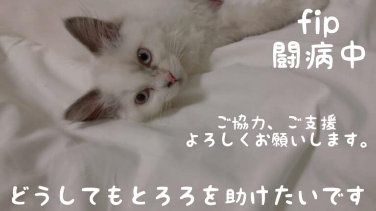 FIP(猫伝染性腹膜炎)を発症した愛猫とろろをどうか助けてください
