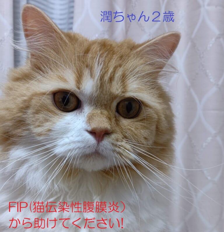 ラガマフィンの潤ちゃんをFIP(猫伝染性腹膜炎)から救いたい!