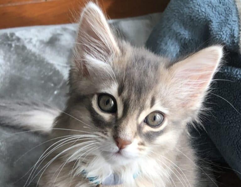 致死率100%の難病(FIP)と闘っている愛猫・こまりの小さな命を救う為、ご支援のお願いです。