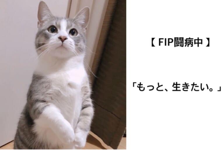 致死率ほぼ100%【FIP】猫伝染性腹膜炎と診断された芭蕉の命を助けてください。