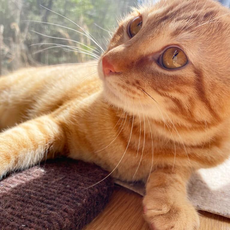 致死率99%の猫伝染性腹膜炎(FIP)から【きいた】を助けたい
