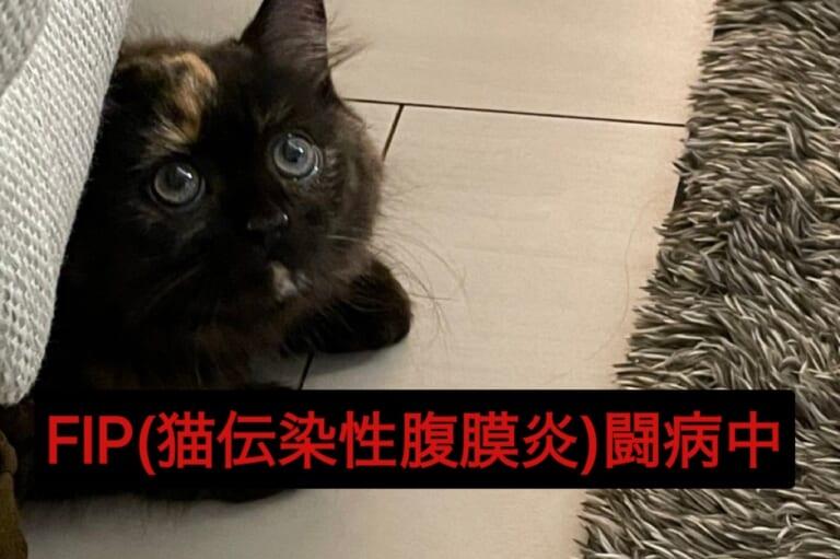 【FIP】ハギが致死率約100%の猫伝染性腹膜炎と診断されました。どうか温かいご支援をお願い致します。