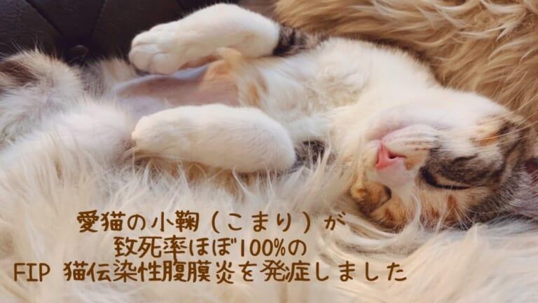FIPを発症した保護猫の小鞠(こまり)を助けてください
