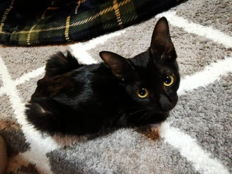 黒猫こんぶ 猫伝染性腹膜炎(FIP)の治療費ご支援のお願いです