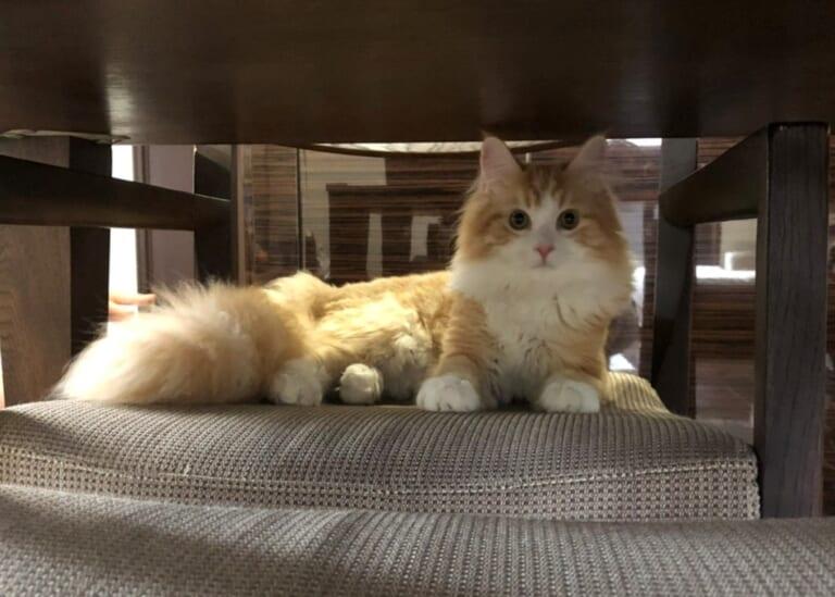 猫伝染性腹膜炎(FIP)の茶々丸の命を助けてください!!!