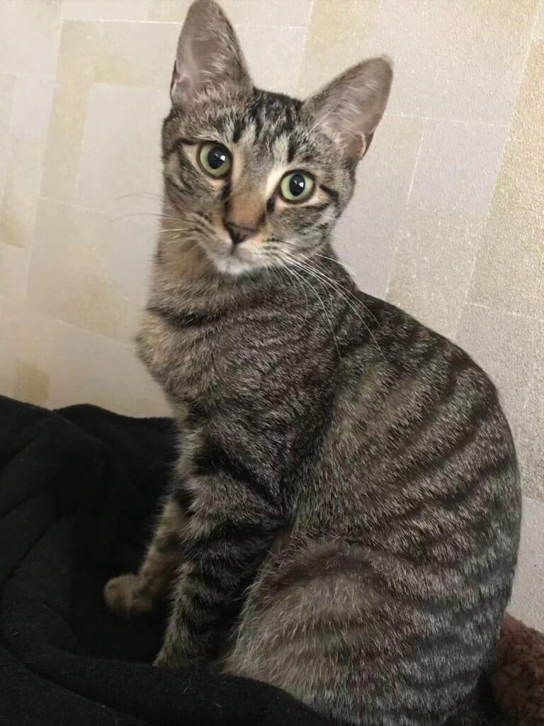 猫伝染性腹膜炎(FIP)を発症した保護猫チャピちゃんを助けてください!