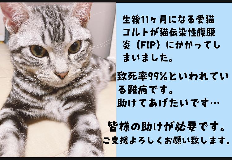 FIP(猫伝染性腹膜炎)に罹ってしまった子猫のコルトを助けてください!