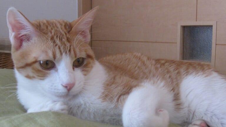 FIP(猫伝染性腹膜炎)の太陽くんを助けたい!