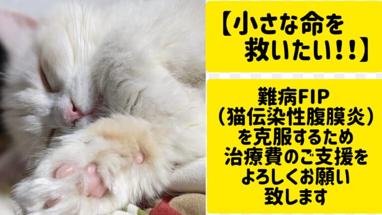 FIP (猫伝染性腹膜炎) にかかったブランの治療のため、力をお貸しください!