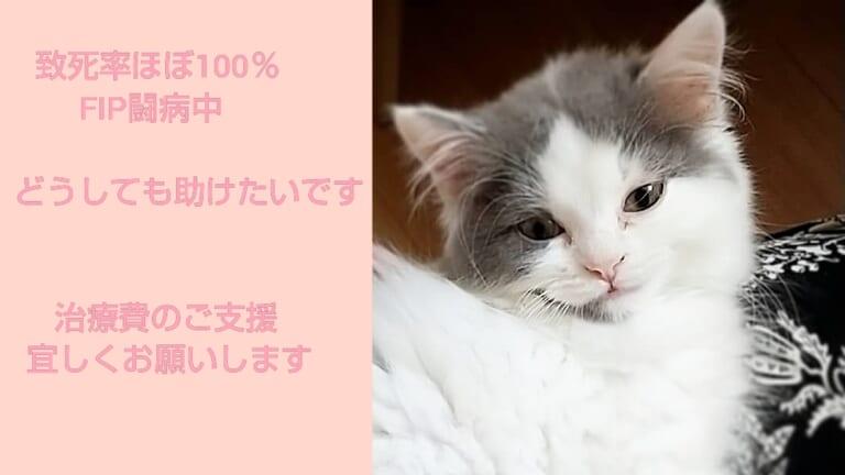 難病【FIP】猫伝染性腹膜炎闘病中、治療費のご支援お願いします