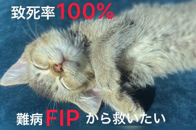 【FIP】猫伝染性腹膜炎の治療費にご支援、ご協力をお願い致します。