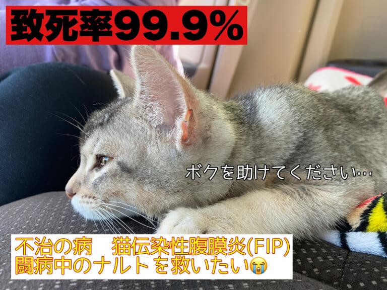 致死率99.9%の【猫伝染性腹膜炎FIP】を発症した愛猫なるとへのご支援お願いいたします