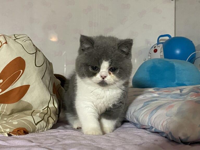 【助けて下さい】だいずの猫伝染性腹膜炎(FIP)の治療にご支援・ご協力お願い致します。