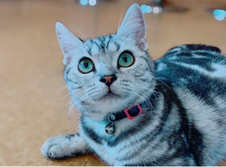 【致死率99%以上】の猫伝染性腹膜炎【FIP】から愛猫アメ治郎を救いたいです!!