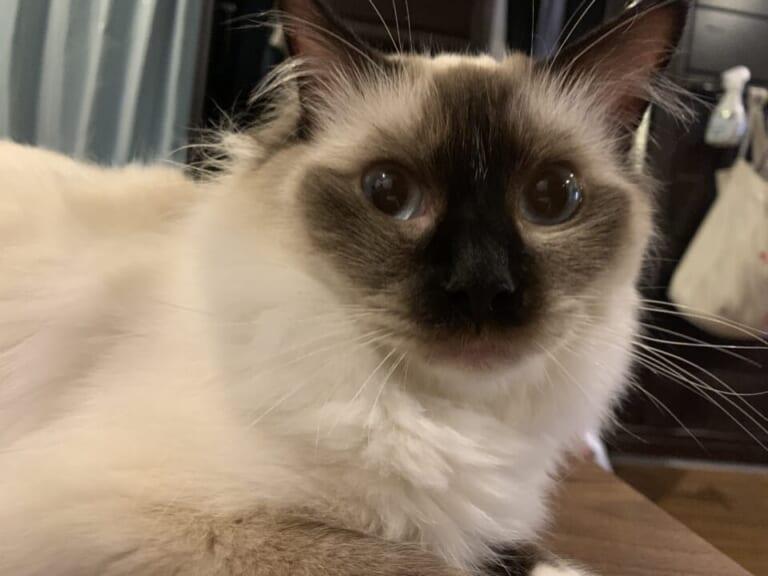 致死率99.9%の猫伝染性腹膜炎(FIP)に罹患した愛猫のナミヲを助けてください!!!!